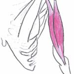 Mięśnie ramienia – poznaj biceps i triceps
