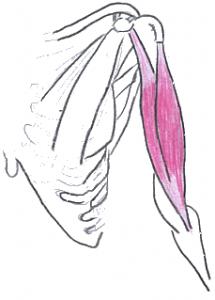 biceps, mięśnie ramienia