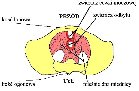mięśnie dna miednicy