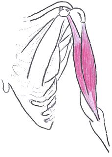 mięśnie ramienia, biceps