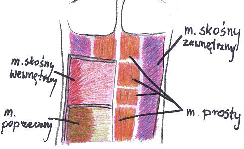 mięśnie brzucha, skośny zewnętrzny, prosty brzucha, poprzeczny brzucha
