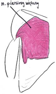 budowa klatki piersiowej
