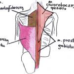 Mięśnie pleców – budowa Twojego grzbietu