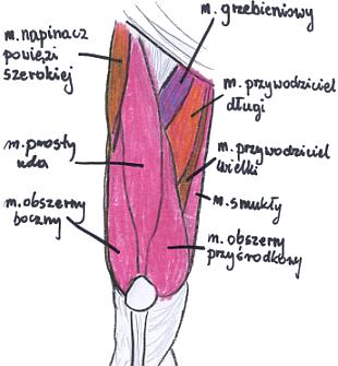 udo anatomia, czworogłowy uda, mięśnie, ćwiczenia na mięśnie, ćwiczenia na partie mięśni, ćwiczenia na uda, ćwiczenia na pośladki, ćwiczenia na brzuch, ćwiczenia na odchudzanie, weight loss exercises, abs exercises, thigh exercises, legs ęxercises, ćwiczenia nóg, fitness, trening, workout, ćwiczenia na klatkę piersiową, ćwiczenia na bisepsy, ćwiczenia ramion, chest exercises, back exercises, ćwiczenia pleców